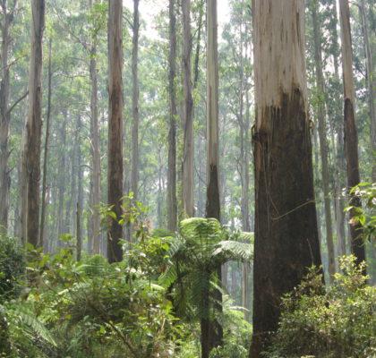 sherbrooke_forest_dandenong_ranges