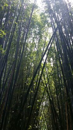Bamboo Forest 2